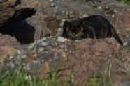 Tundra Wolf, Canis lupus albus - Jeff Wendorff Photographer
