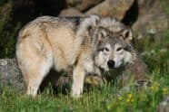 Tundra Wolf, Canis lupus albus - Jeff Wendorff Photographer