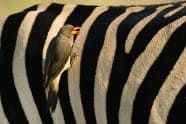 Yellow-billed Oxpecker, Buphagus africanus on a zebra - Jeff Wendorff Photographer