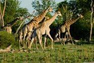Giraffe Herd - Jeff Wendorff Photographer