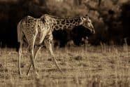 Giraffe - Jeff Wendorff Photographer