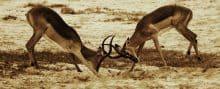 Sparring Impala, Aepyceros melampus. Jeff Wendorff Photographer