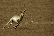 Southern Lechwe, Kobus leche. Jeff Wendorff Photographer