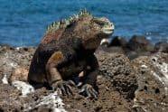 Marine Iguana, Amblyrhynchus cristatus - Jeff Wendorff Photographer