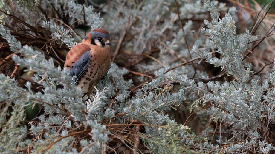 American Kestrel, Falco sparverius photographed by Jeff Wendorff