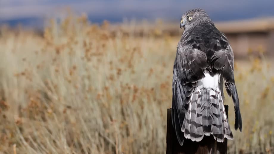 Northern Harrier, Circus cyaneus photographed by Jeff Wendorff