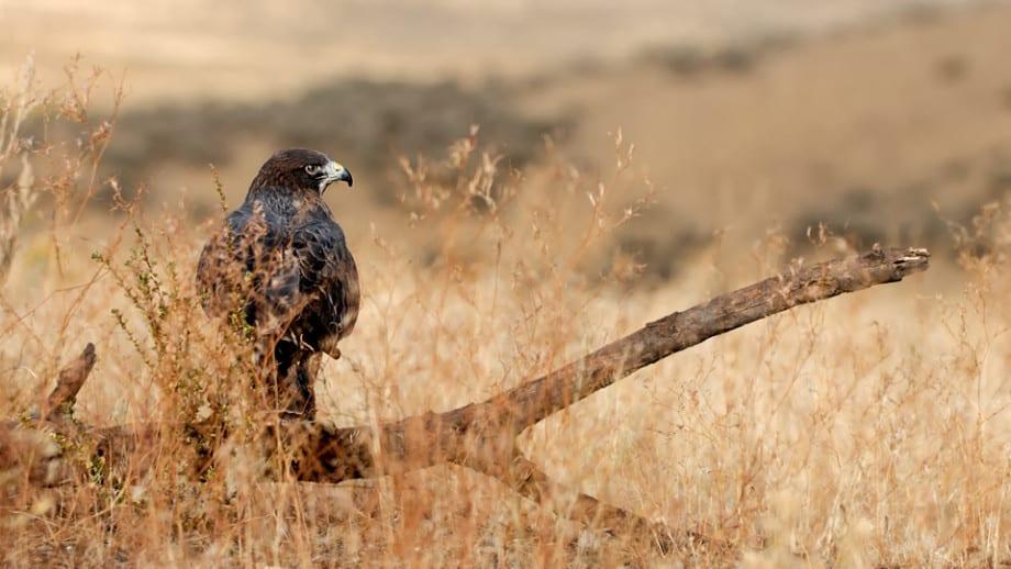 Swainson's Hawk, Buteo swainsoni photographed by Jeff Wendorff