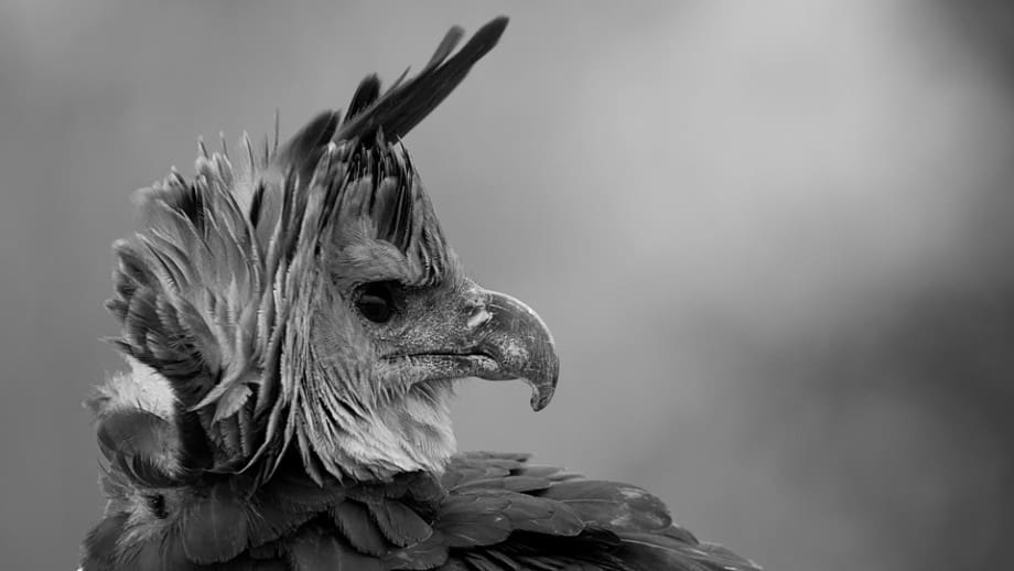 Harpy Eagle photographed by Jeff Wendorff