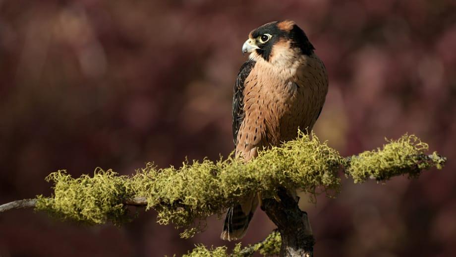 Taita Falcon, Falco fasciinucha photographed by Jeff Wendorff