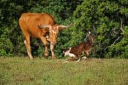 Longhorn Cattle