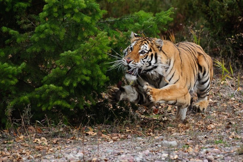 A mock attack by a tiger photographed by Jeff Wendorff