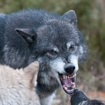 Wolves from Wildlife Photography Workshop