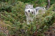 Tundra Wolf, Canis lupus albus