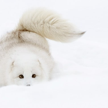 Winter Wildlife Photography Workshop Arctic Fox