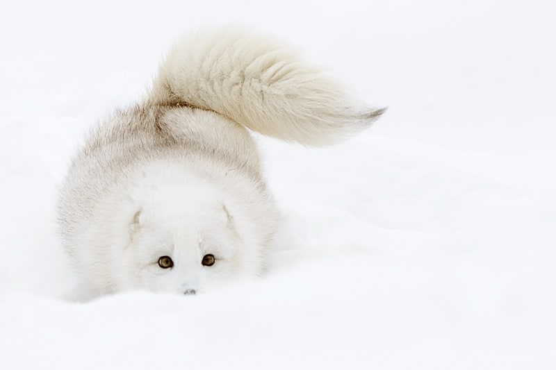 Arctic Fox tail up and playing in the snow photographed by Jeff Wendorff
