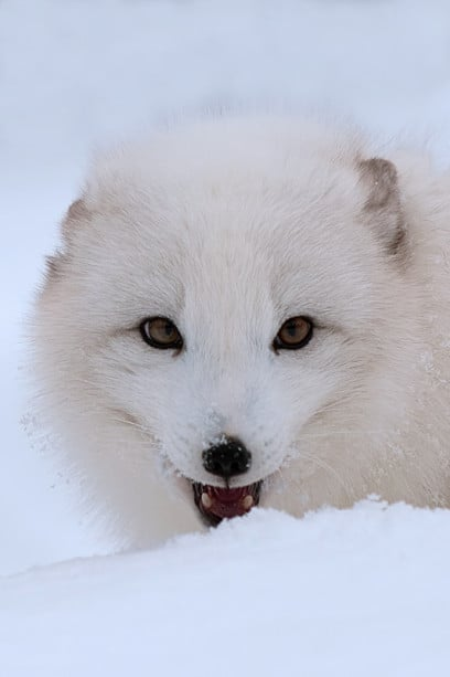 Arctic Fox in snow photographed bY Jeff Wendorff