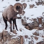 A Hurtle of Bighorn Sheep from Yellowstone