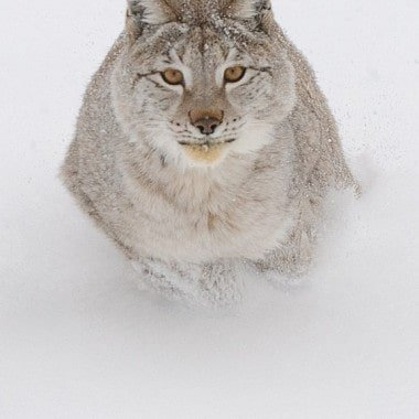 Lynx Gallery Winter Wildlife Photography Workshop