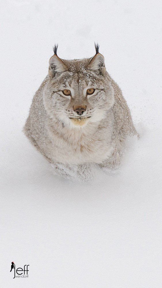 Eurasian Lynx running in the snow photographed by Jeff Wendorff