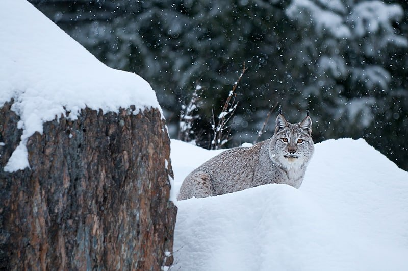 Eurasian Lynx checking out the photographers photographed by Jeff Wendorff