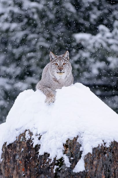 Eurasian Lynx on snowy rocks photographed by Jeff Wendorff