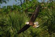 Bald Eagle, Haliaetus leucocephalus
