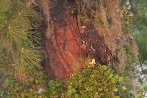Eaglet Flies Like an Eagle to Survive