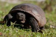 Gopher Tortoise, Gopherus polyphemus