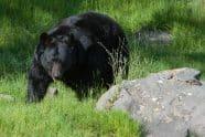 American Black Bear, Ursus americanus