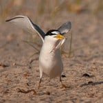 Photographs of A Ternery of Least Terns in Biloxi