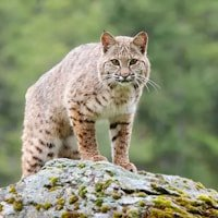 Bobcat from Wildlife Photography Workshop