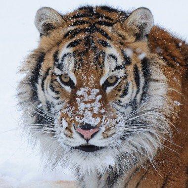Winter Wildlife Workshop Tiger Update