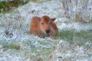 American Bison, Bison bison. Also Buffalo