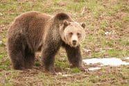Grizzly Bear, Ursus arctos horribilis. Also Silvertip Bear or North American Brown Bear