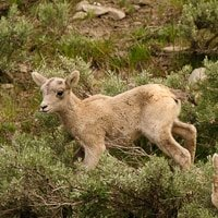 Baby Bighorn Sheep at Yellowstone