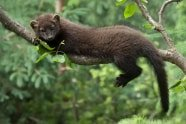 Juvenile Fisher, Martes pennanti lunging across a branch. Jeff Wendorff Photographer