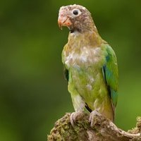 Brown-hooded Parrot Photography Costa Rica