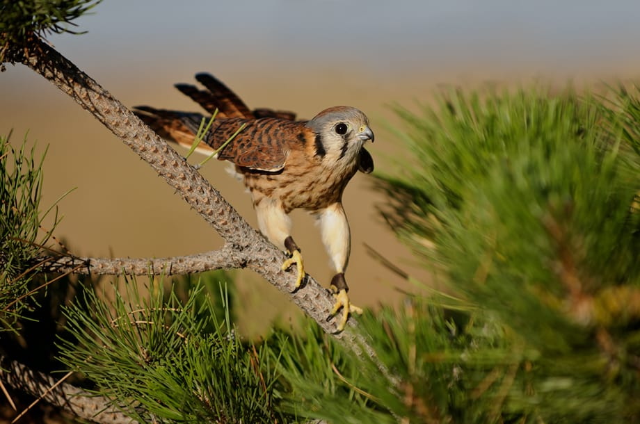 American Kestrel, Falco sparverius in a pine tree photographed by Jeff Wendorff