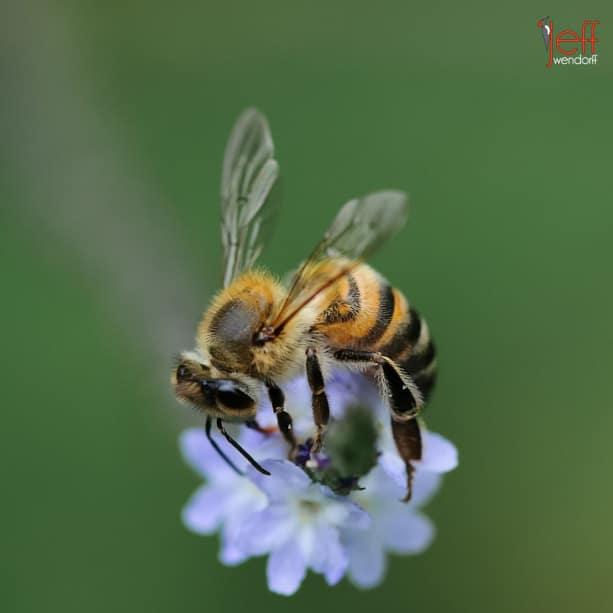 Honey Bee pollenating Verbena Azul, Stachytarpheta cayennensis by photographer Jeff Wendorff