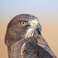 A Kettle of Swainson's Hawks