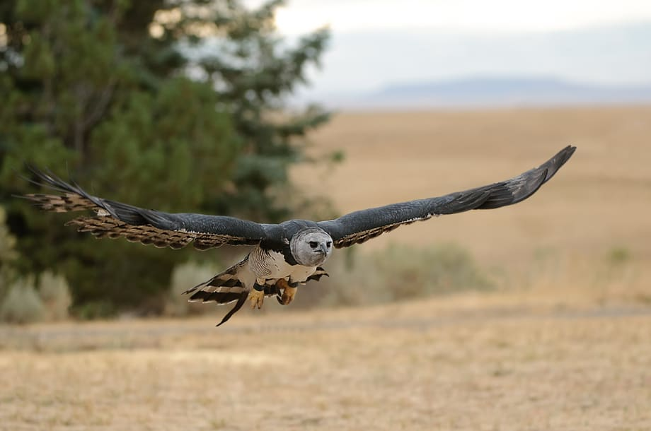 Harpy Eagle, Harpia harpyja in flight photographed by Jeff Wendorff