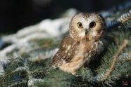 Northern Saw-whet Owl, Aegolius acadicus