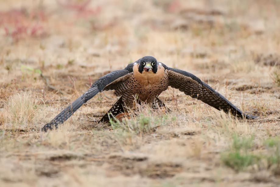 Peregrine Falcon, Falco peregrinus manteling over prey photographed by Jeff Wendorff