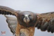 Swainson's Hawk, Buteo swainsoni