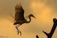 Great Egret, Ardea alba. Also Great White Egret