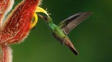 Rufous-tailed Hummingbird, Amazilia tzacatl pollinating a Heliconia, Heliconia mutisiana