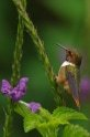 Scintillant Hummingbird, Selasphorus scintila