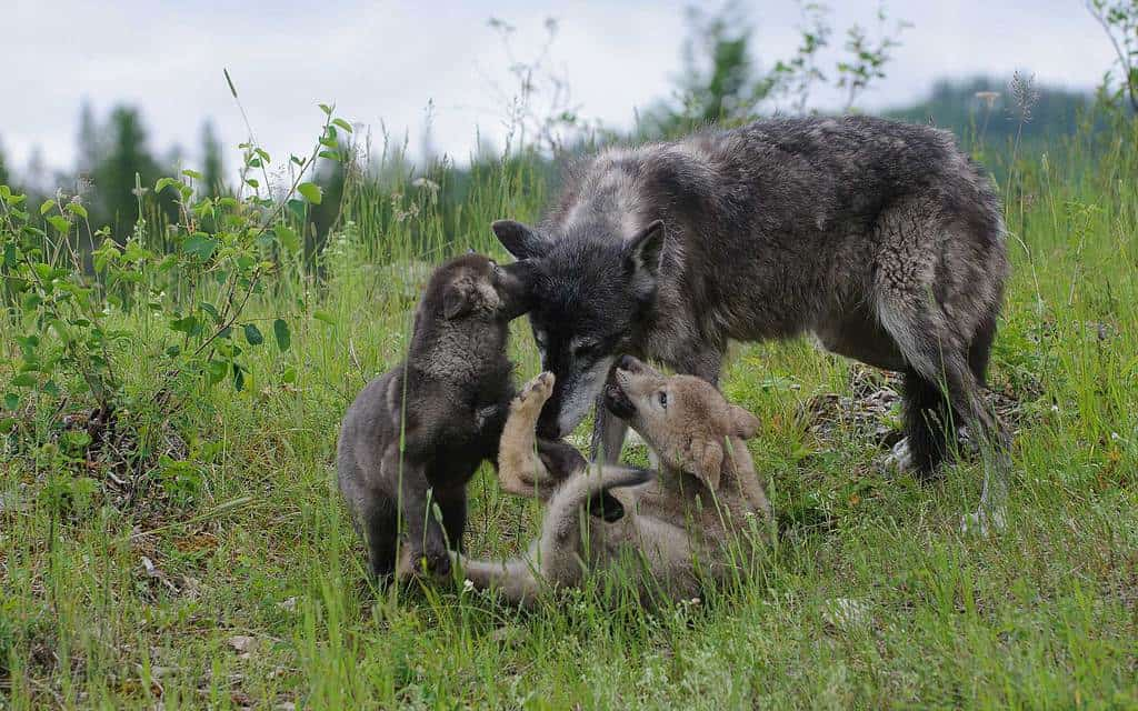 Wolf Puppy Love - 2 wolf pups with their mother photographed by Jeff Wendorff