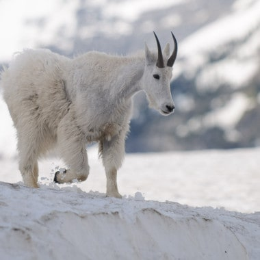 Mountain Goats – Glacier National Park