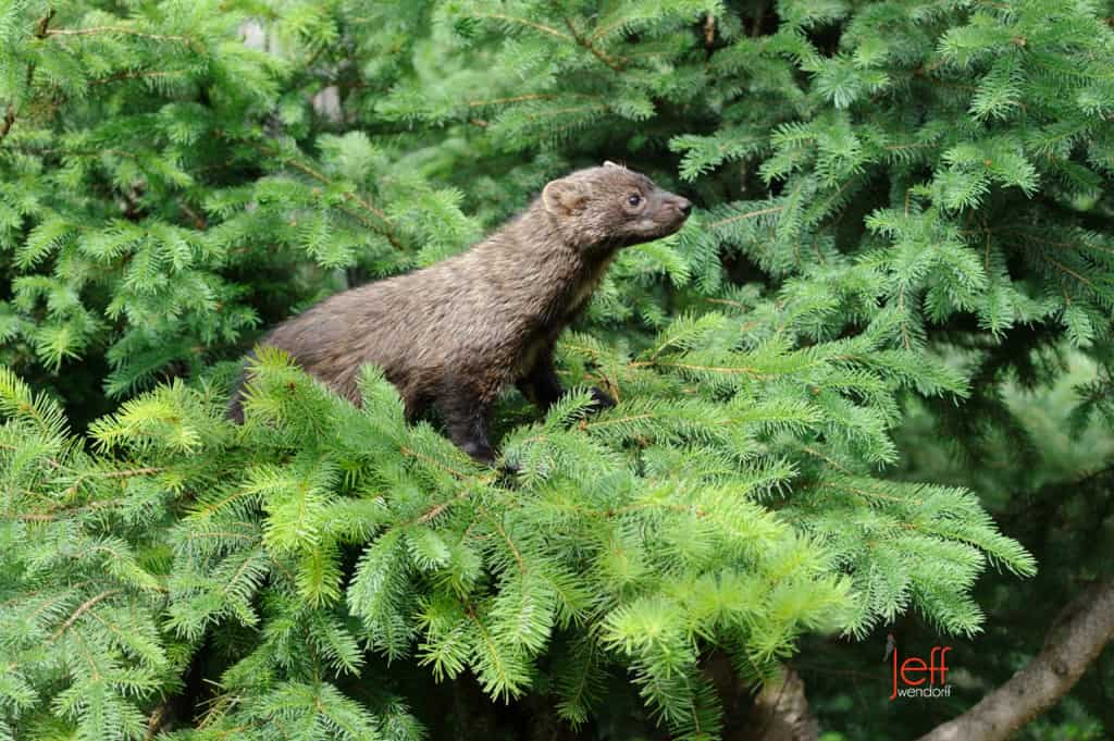 Wildlife Photography – Weasels Mustelidae